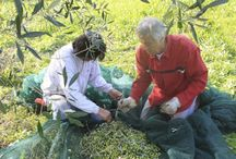 The Olive Harvest in Umbria / Thumbs up if you know the Umbrian Italian Extra Virgin Olive Oil! Do you know that it is one of the best Italian extra-virgin olive oils? Come in Umbria for an olive picking day!  [Photo credits: Cooking Classes in Venice #olive #harvest #umbria #italy #evoo #travelinitaly   #isacookinpadua