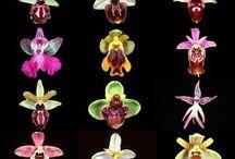 Tony orchidee