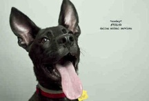 DAS Adoptable Dogs by Slyvia Elzafon / by DallasAnimalServices