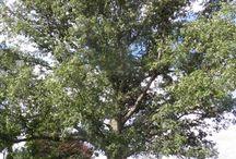 Herbs: Oak