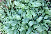 Hjemmelavet Ramsløgssmør / Når der er ramsløg, er der masser af lækre sager man kan lave. Jeg laver bl.a ramsløgpesto, ramsløgolie, ramsløgssmør og som nævnt i et tidligere blogindlæg ramsløgsalt. Desuden kan man også sylte blomsterknopperne og når ramsløgene er afblomstrede, kommer der masser af frø, som kan syltes til de lækreste ramsløgkapers.