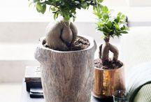 Ficus Ginseng*
