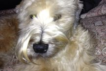 Soft coated Wheaton terrier  / My Whiskey
