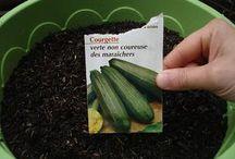 courgettes en pot