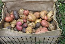 food storage / Some foods can be stored for months and months in cellars, larders, your garage or pantry. This board provides tips & info re:  storing foods (i.e. potatoes, winter squash, garlic, onions, apples etc.)