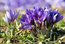 La culture de nos crocus sativus et la production de notre safran de Provence / Safran - Saffron La culture de nos crocus sativus dans les safraneraies situées à Entrechaux - Vaucluse - France #safran #saffron