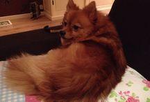 Pomeranian / Leuke foto's van onze hond Dollar