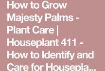 How to Grow A Majesty Palm Tree