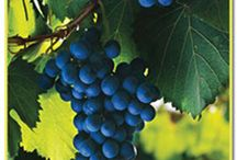 A Grape Education / Wine and grape knowledge.  / by Shalah O'Callaghan