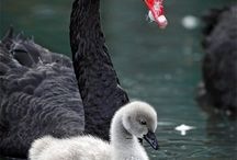 Black Swan / Before the arrival of the Māori in New Zealand, a subspecies of the black swan known as the New Zealand swan had developed in the islands, but was apparently hunted to extinction. In 1864, the Australian black swan was introduced to New Zealand as an ornamental waterfowl and populations are now common on larger coastal or inland lakes, especially Rotorua Lakes, Lake Wairarapa, Lake Ellesmere, and the Chatham Islands.