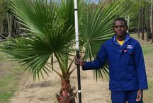 Washingtonia robusta (Fan Palm) / Able to reach up to 30m, this hardy striking palm tree is a popular choice amongst landscapers with its solitary trunk and long drooping leaves. We currently stock 100L and 200L of the Fan Palm. (Last updated 28 March 2017)