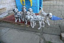 Dayen My Love / My dalmatian puppy and her siblings