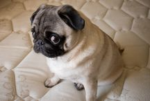 Pugs and all things cute
