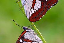 Pillangók - Butterflies