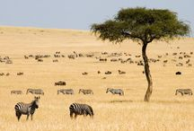 Masai Mara / Kenya's finest reserve, packed with Big Five, and staging point on the remarkable wildebeest migration. http://www.secretearth.com/destinations/538-masai-mara-national-park