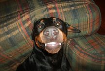 Dobes, other dogs, and other cute animals!  / by Amy Ambroz