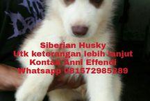 Jual Anak Anjing Siberian Husky Bulu Coklat Blue Eyes