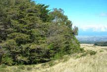 Coníferas: pinheiros, ciprestes, abetos, gênero Cedrus, araucárias, lariços, sequoias, teixos...