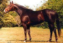 Nasrullah line Stallions