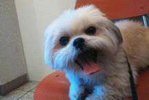 My little love! / #shihtzu #dog #cat #animal