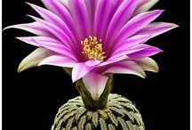 Gardening / Cactusi