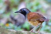 Antbird