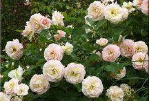Antique Roses / by Stacy D.