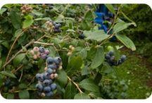 Mamaku Blue Blueberry Experience