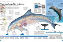 Dolphins anatomy