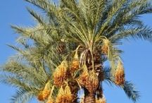 Date palm / Godess