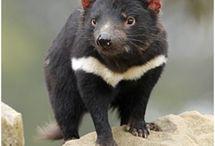 Animals - Tasmanian Devils