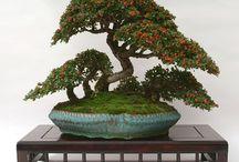 seedling bonsai