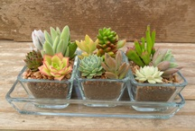 Succulents and Cacti / by Jane Schofield