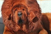 chien tibetan mastiff / animaux
