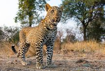 Ratujmy Wirungę/ SOS Virunga / Wirunga to najstarszy park narodowy w Afryce, wpisany na Listę Światowego Dziedzictwa Przyrodniczego UNESCO, jej tereny zamieszkują setki gatunków zwierząt: lwy, hipopotamy, nosorożce oraz małpy człekokształtne. Niestety Wirundze grozi niebezpieczeństwo - brytyjski koncern paliwowy Soco  planuje rozpocząć  tam poszukiwania ropy naftowej. Ocalmy Wirungę! Pomóż ocalić najstarszy park narodowy w Afryce: http://www.wwf.pl/mozesz_pomoc/ocal_wirunge_pl/