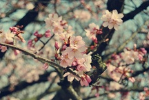 Sakura :) / by Thabata Millard