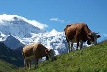 Zwitserland / Zwitserland is het land van de moderne steden met middeleeuwse knusse centra, enorme gletsjers, groene Alpenweiden, honderden skipistes en hoge bergtoppen met eeuwige sneeuw. Natuurlijk kent de wereld het land ook van de horloges, de kaas en de chocola. Het land mag dan met ruim 41.000 vierkante kilometer niet groot zijn, het bezit wel een schat aan veelzijdigheid.