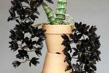 orquidias negras