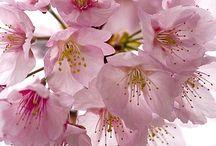 Sakura/JAPAN