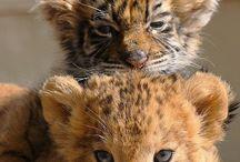 tigre a levi