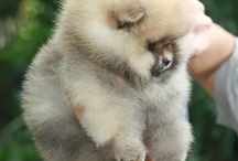 Pomeranians: the funniest dog breed in the world!!!!!!!!!