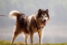 Kadlook - Alaskan Malamute / Alaskan Malamute, najcudowniejszy pies świata. Kochany, ciepły i złośliwy. To takie małe dziecko, którego nie można zostawić w domu, bo wszystko zniszczy z tęsknoty. Aktywny, kochający biegać łakomczuch. W młodości champion na wystawach i czołowy zwycięzca bikejoringu. Teraz regularnie bierze udział w dogtrekkingach i rekreacyjnie w wyprawach górskich i przejażdżkach rowerowych. Sprawia, że świat jest piękniejszy.