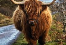 Animals | Highland Cows / Scotland's hairy cows