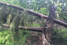 Windblown trees and emergency tree work