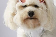 Sophie by Camille / I'm excited to announce the release of, Sophie by Camille, my new line of elegant dresses & sunglasses for dogs. The designs will include trims such as rhinestones, faux fur, sequins & studs which are perfect for the holidays or any special occasion.  ~ For dogs who love to be noticed
