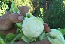 El huerto ecológico de Eusebio / Eusebio es nuestro principal proveedor de verduras ecológicas y siempre que podemos vamos a visitar su huerto.