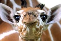 Giraffe Love <3