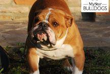 bulldog inglese My Fair Lady / Cane di razza bulldog inglese esemplare femmina