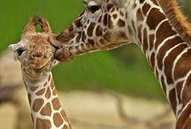 Giraffes  / by Barb Schroeder