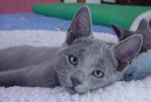 Russian Blue Beauty=^.^= / Cats